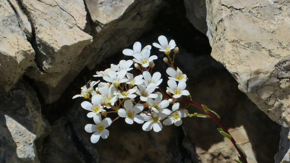 spoon-leaf-saxifrage-183877_960_720