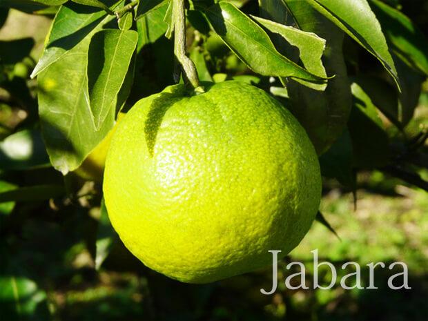 Juge_jabara_top