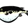 fugu-sumie